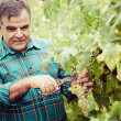Senior winemaker cuts twigs — Stock Photo