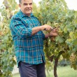 Stock Photo: Senior winemaker cuts twigs