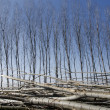 Poplars felled — Stock Photo