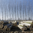 Poplars cut and stacked — Stock Photo #21970365