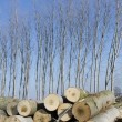Poplars cut and stacked — Stock Photo