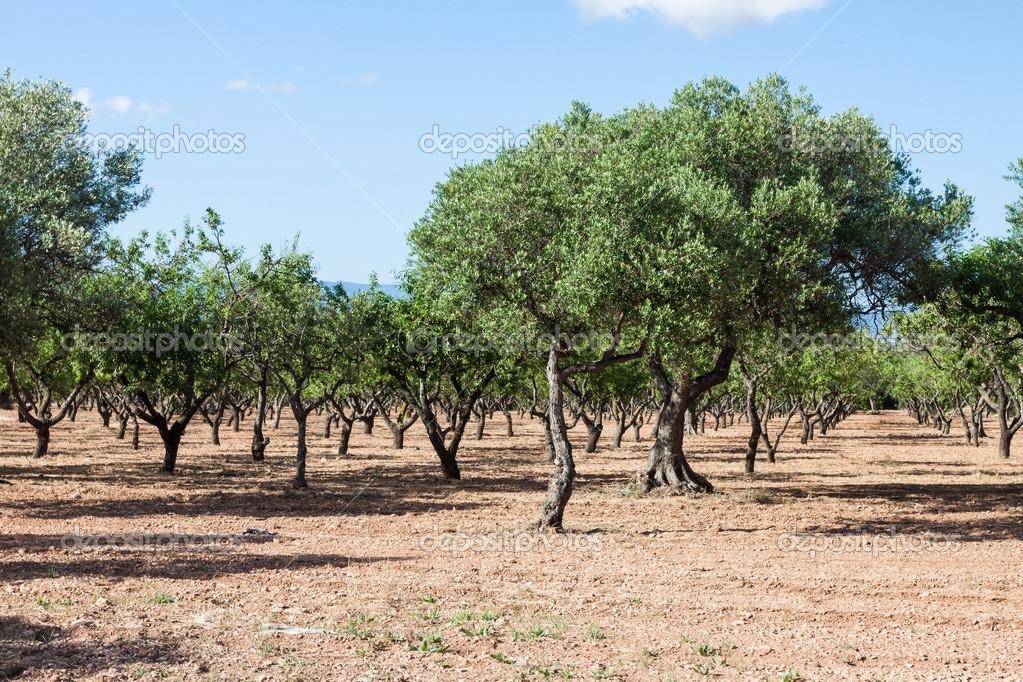 在西班牙橄榄树果园