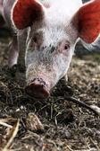 Little piggy — Stock Photo