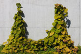 Concrete wall with ivy — Stockfoto