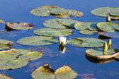 Fleur de nénuphar — Photo