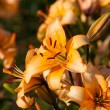 Orange Lily Flower Background — Stock Photo #12272487