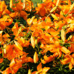 Orange Lily Flower Background — Stock Photo