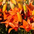 Red Lily Flower Background — Stock Photo