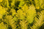 Bright green leaves of fern as background — Stock Photo