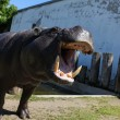 Photo: Hippopotamus showing huge jaw, teeth