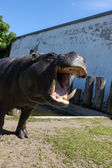 Hippopotamus showing huge jaw, teeth — ストック写真