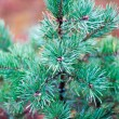 Green prickly branches of a pine — Stock Photo