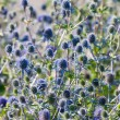 The Globe Thistle, Veitch's Blue (Echinops ritro) — Stock Photo
