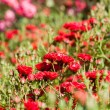 Park full of red roses — Stock Photo #19715663