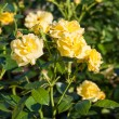 Stock Photo: Yellow roses in Garden