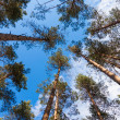Dense forest of pine trees — Stock Photo