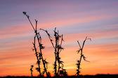 Oset, suchej trawy, natura — Zdjęcie stockowe