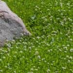 Granite stone in clover field — Stock Photo