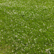 Stock Photo: Clover field