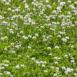 Clover flower field — Stock Photo