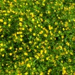 Ranunculus acris (Meadow buttercup, Tall buttercup) yellow flowe — Stock Photo #28590849