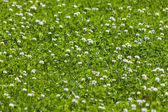 Clover flower field — Stock Photo