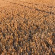Stock Photo: Cereal newly harvested fields