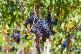 Ripening grape clusters on the vine — Stock Photo