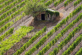 Vineyards in fall — Stock Photo