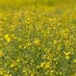 Rape seed field — Stock Photo
