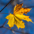 Autumn single yellow maple leaf — Stock Photo