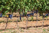 Ripening grape clusters on the vine — Stock fotografie