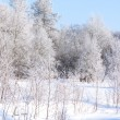 Christmas morning. Snowy winter forest — Stock Photo
