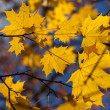 Autumn yellow maple leaves — Stock Photo