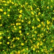 Ranunculus acris (Meadow buttercup, Tall buttercup) yellow flowe — Stock Photo
