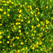 Ranunculus acris (Meadow buttercup, Tall buttercup) yellow flowe — Stock Photo #36125663
