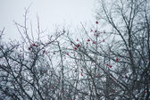 Rowan tree in the snow — Stock Photo