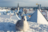 Seagull with winter Tallinn at the background — Stock Photo