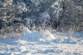 Frozen trees in winter forest — Stock Photo