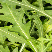 Close-up on the heap of rucola — Stockfoto