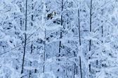 Arbres d'hiver — Photo