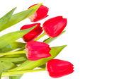 Tulipani rossi isolati su sfondo bianco — Foto Stock