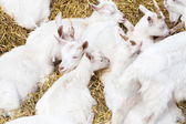 Domestic goats in the farm — Stock Photo