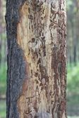 Bark eaten by rodents — Stock Photo