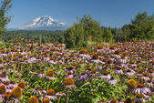 Field of Purple Echinacea — Stock Photo