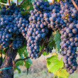 Bunches of Red Wine Grapes on Vines in Italy — Stock Photo #13400489