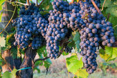 Bunches of Red Wine Grapes on Vines in Italy — Stock Photo