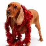 English Cocker Spaniel Dog and Christmas Ornament — Stock Photo #30425971