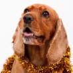 English Cocker Spaniel Dog and Christmas Ornament — Stock Photo #30425999