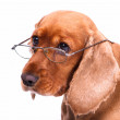 English Cocker Spaniel Dog and Glasses — Stock Photo